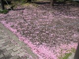 sakura chini