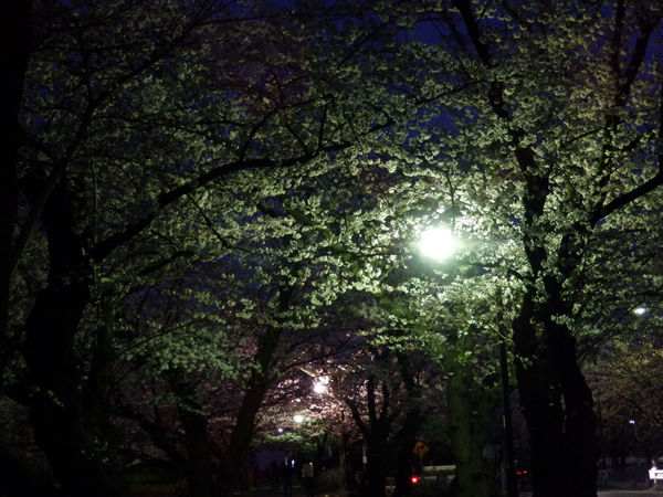 20150330-torunosakura4