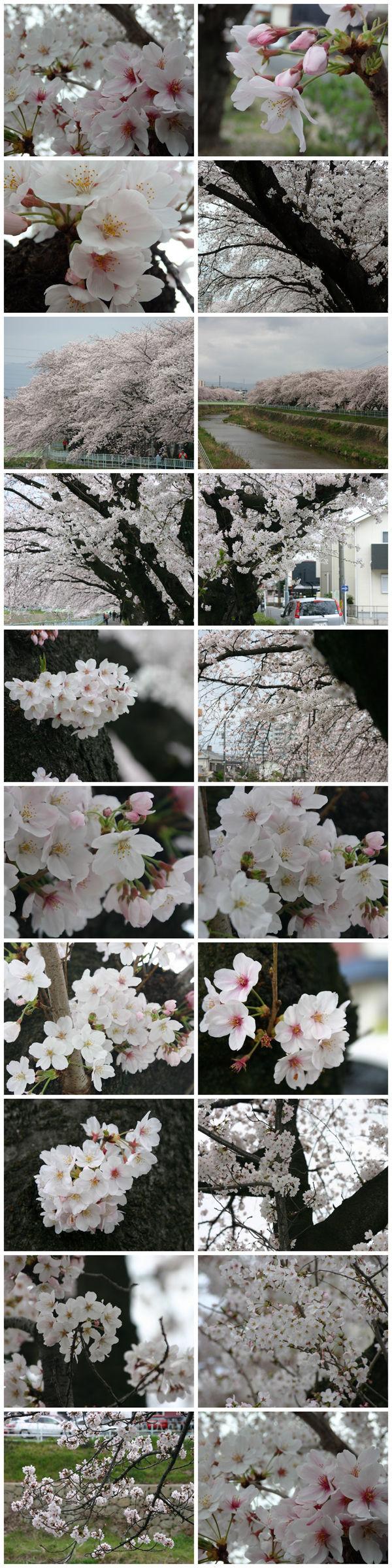 20160403-sakura