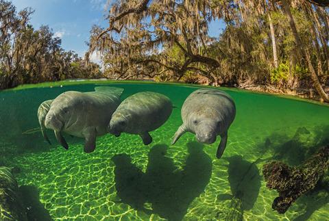 04-manatees-swim-close-to-surface-670