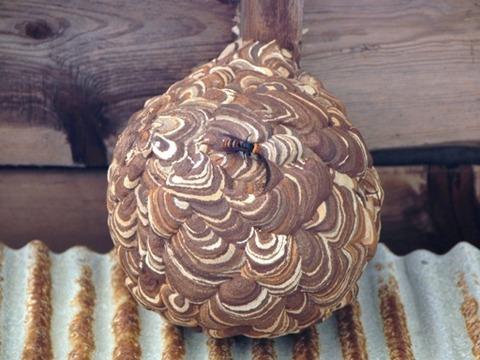 スズメバチ 巣