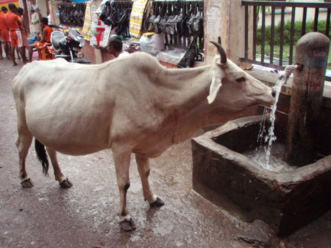 インド 牛