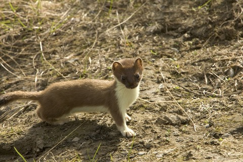 short-tailed-weasel-86619_1920