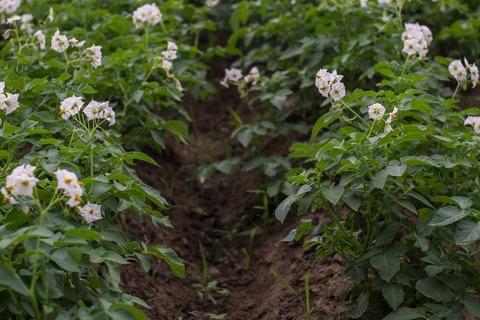 potato-field-2458089_1920