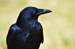raven-1347374_1920