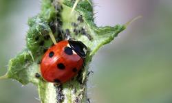 ladybug-1486435_1920