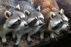 raccoons-4398911_1920