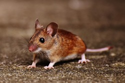 mouse-1708452_1920