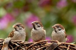 sparrows-797995_1920