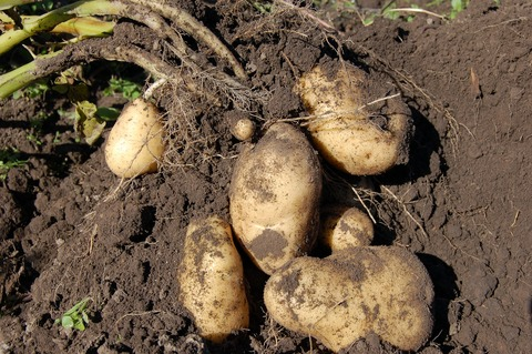 potatoes-1637280_1920