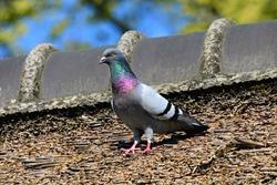 rock-dove-4143133_1920