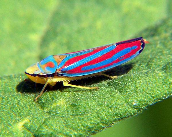 750px-Graphocephala_coccinea_6