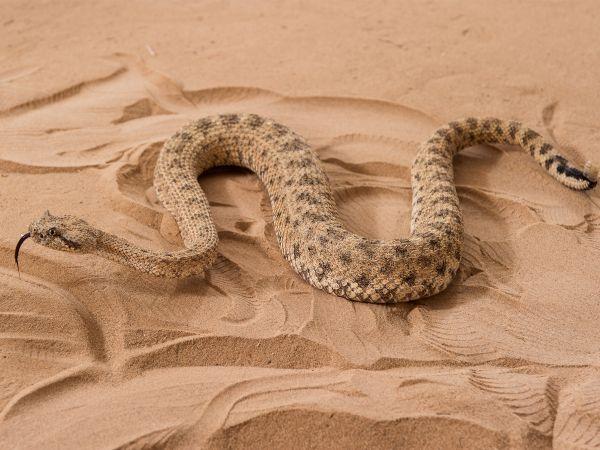 ww-sidewinder-snakes-01_600x450