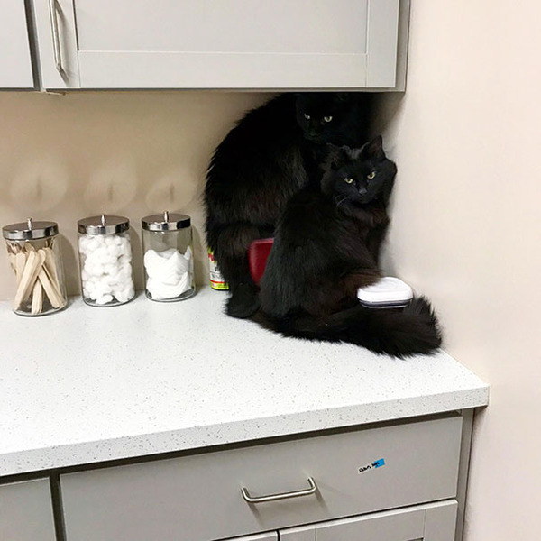 funny-scared-cats-vet-clinic-114-5c262e78b8c42__605