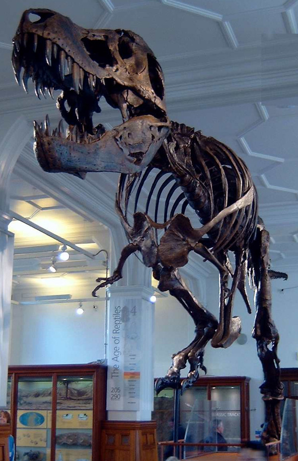 Stan_the_Trex_at_Manchester_Museum