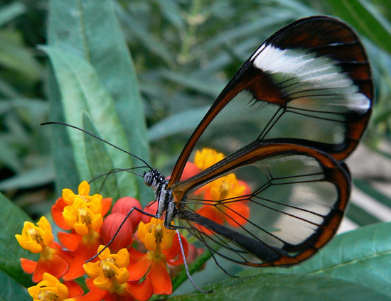 glasswing-butterfly2