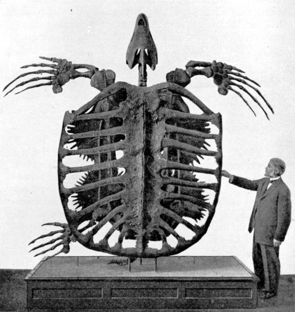 Archelon_skeleton