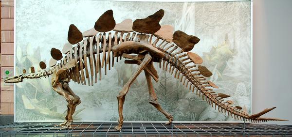 Stegosaurus_Senckenberg