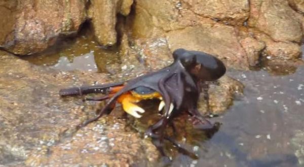 カニを狩るタコ