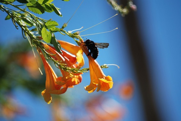 carpenter-bee-426649_960_720