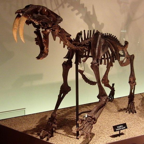 600px-Smilodon_Skeleton