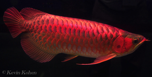 red-dragon-fish-singapore