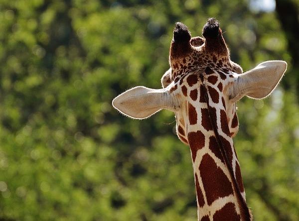 giraffe-1341638_640
