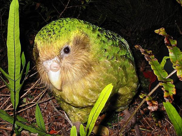 kakapo-01