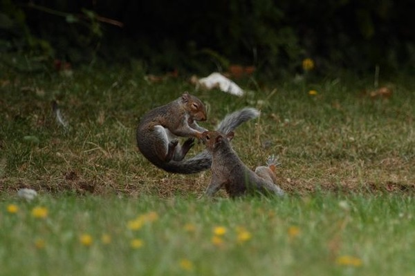 PAY-PROD-THEYRE-NUTTERS-NINJA-SQUIRRELS-SNAPPED-IN-AERIAL-DUEL-4