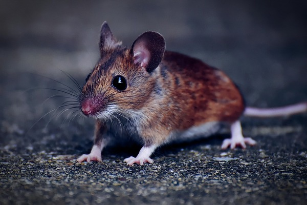 wood-mouse-4292074_960_720