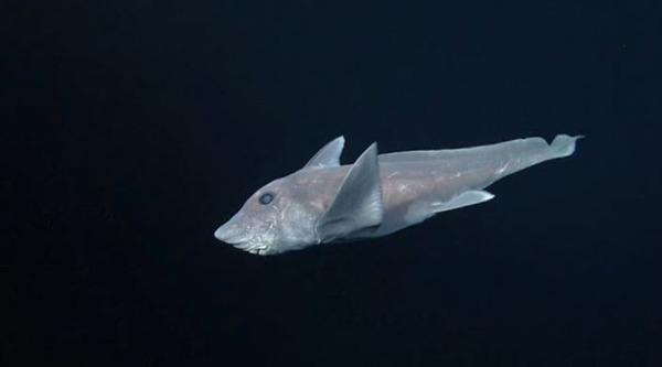 ghost-shark-chimaera-captured-first-time-3
