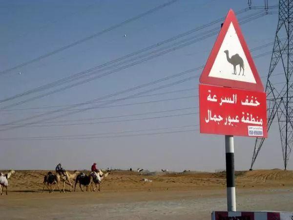 camel25