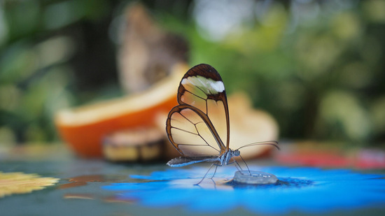 glasswing-butterfly1