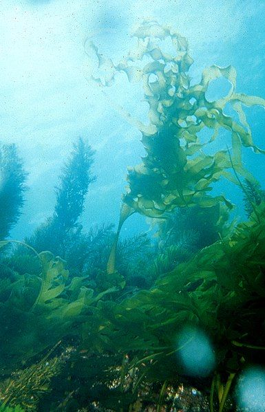 385px-CSIRO_ScienceImage_904_Undaria_pinnatifida_Japanese_kelp