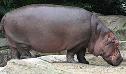260px-Nijlpaard