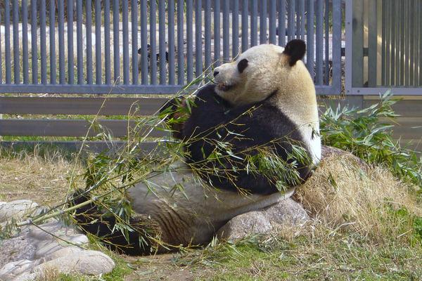 Giant_panda01_960