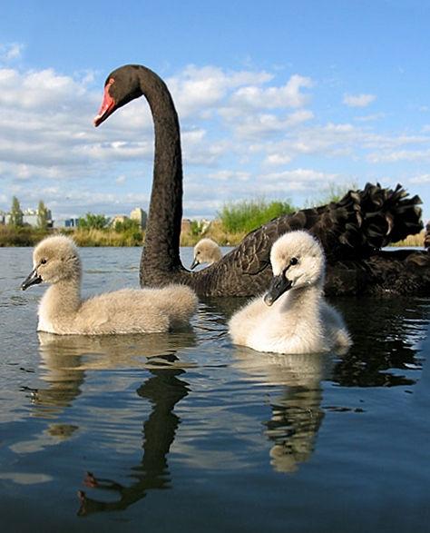 Cygnus_atratus_-adult_with_chicks_in_Australia-8