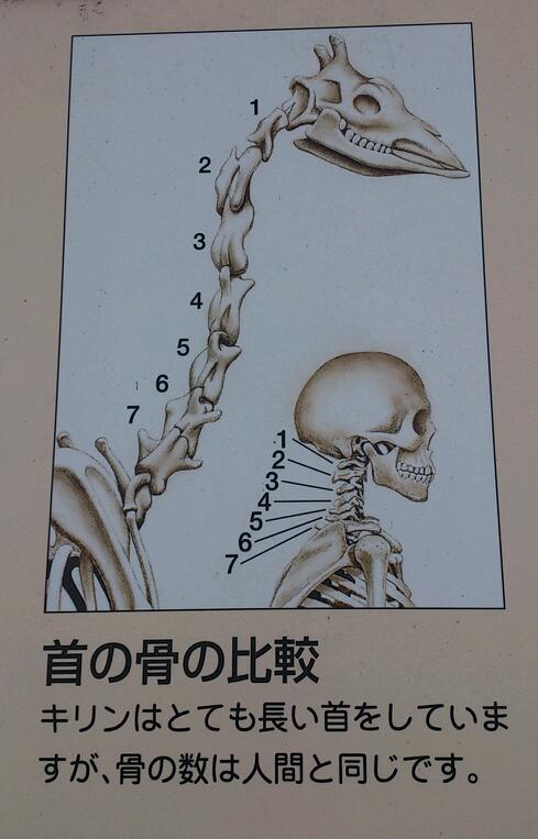 首の骨の数