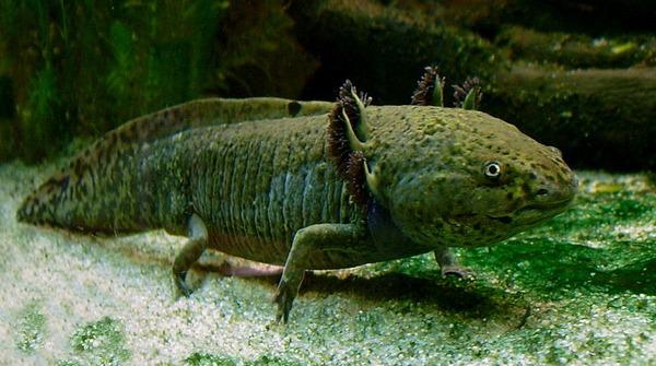 800px-Axolotl_ganz