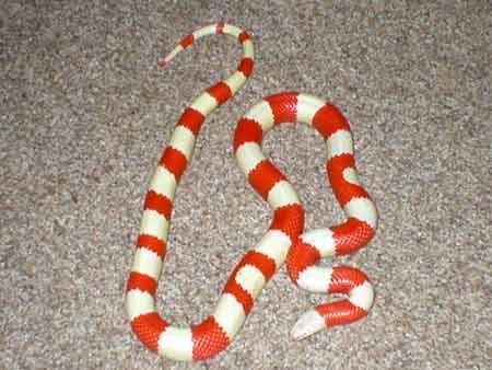 milk-snake-3