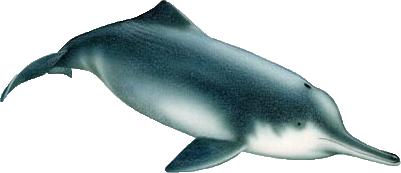 揚子江河海豚