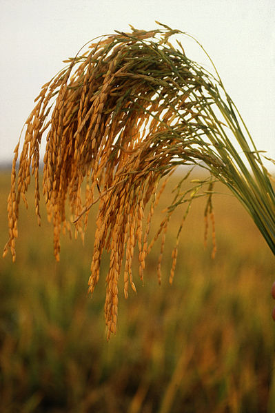 399px-US_long_grain_rice