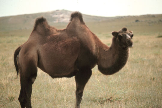 Camel_in_Mongolia