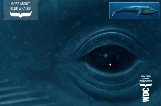 WDCS - Life size blue whale