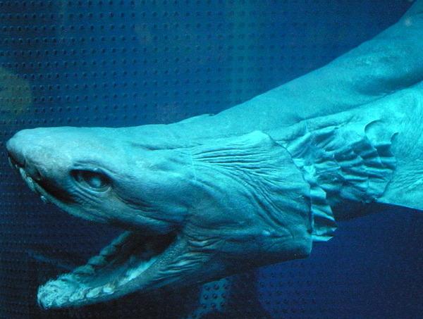 795px-Frilled_shark_head2