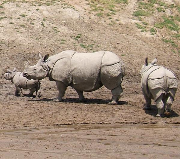 Indian_Rhinoceros