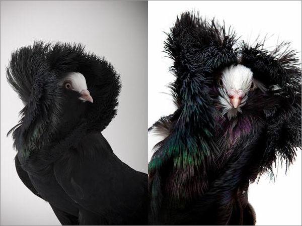 ジャコビン鳩