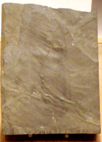 435px-OdontogriphusSpeciman_RoyalOntarioMuseum