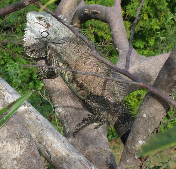 Iguana_iguana01