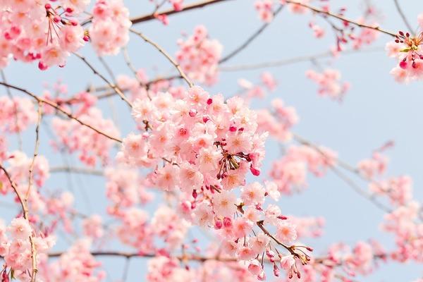cherry-tree-1225186_960_720